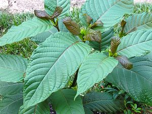 the best kratom plants